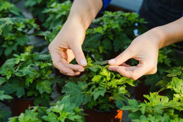 観葉植物の葉の状態を確認