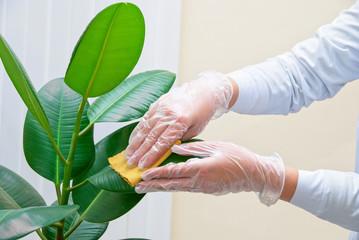 観葉植物の葉の掃除