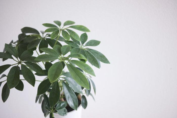 新品の観葉植物(シェフレラカポック)
